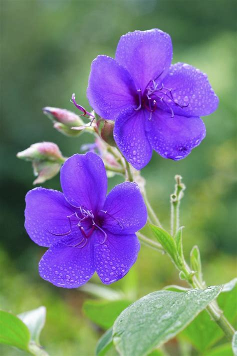 How to Care for a Tibouchina Plant | Hunker