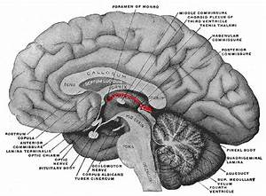 11 6d  Epithalamus And Pineal Gland