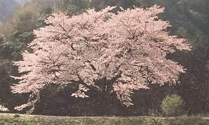 Cherry Blossom Gifs Tree Peach Passion Glitter