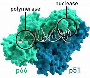 Reverse Transcriptase