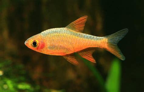 rasboroides vaterifloris fire rasbora  fish