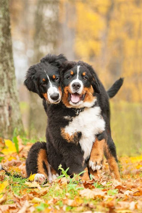bernese mountain dog dogs breed information omlet