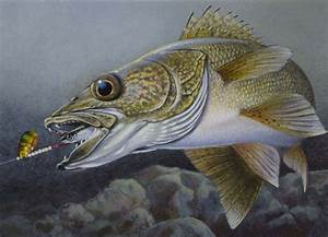 walleye drawings | painting of a walleye chasing a spinner ...