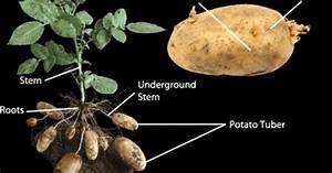 Asexual Reproduction In Potato Plants  Vegetative