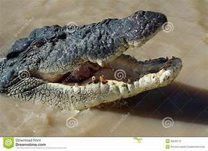 Toothless Crocodile Stock Photo  Image Of Crocodile