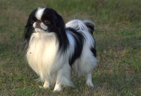 japanese chin  bred   companion dog  china