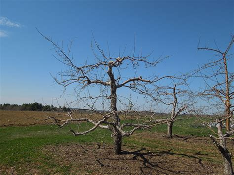 Pruning  Cooperative Extension Tree Fruits University