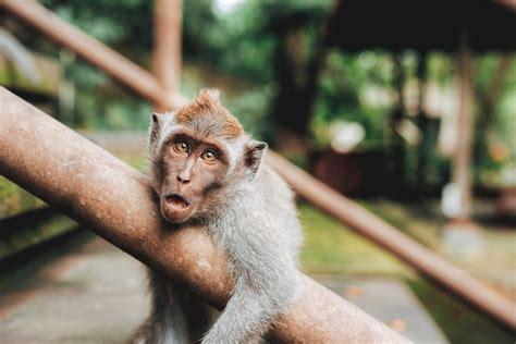 la guenon le singe  la noix fable de jean pierre