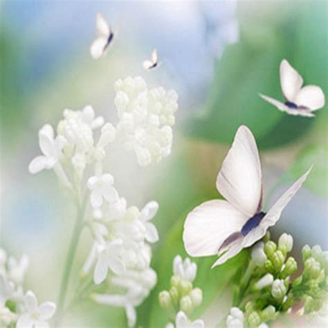 white flower pictures butterfly white flowers design butterflies pinterest