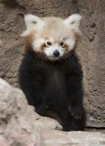 Zoo Animal Baby Red Panda