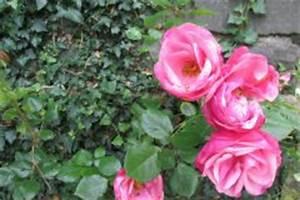 Wann Schneidet Man Rosen Zurück : efeuhecke schneiden wann wie und wie viel ~ Orissabook.com Haus und Dekorationen