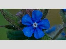 A blue flower with five petals Lovely Flowers