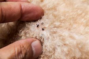 Dog Mite Infestation   Tiny Transparent Parasite