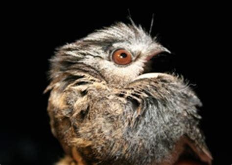 australian owlet nightjar birdlife australia