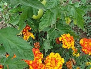 Plantes Amies Et Ennemies Au Potager : une bonne association de plantes au potager jardipartage ~ Melissatoandfro.com Idées de Décoration