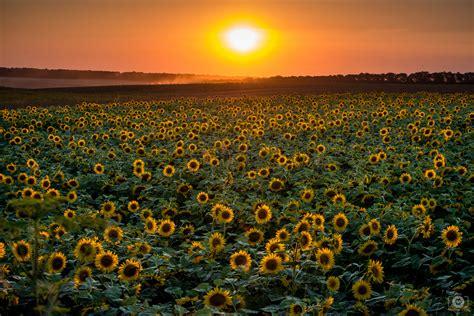 sunset  sunflower field background high quality