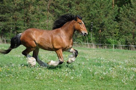 Mazulis - pasaulē lielāko zirgu pārstāvis | Praktiski.lv