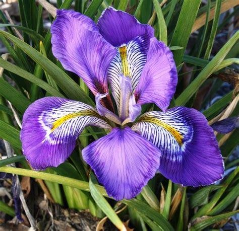 fiore iris foto iris unguicularis iris unguicularis bulbi iris