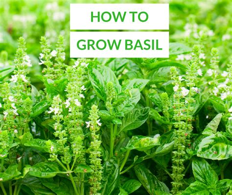 How To Grow Basil The Ultimate Guide Loyalgardener
