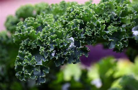 comment bien cuisiner chou kale comment bien le cuisiner aux fourneaux