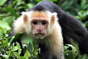 Capuchin Monkey Fun Facts You Need To Know