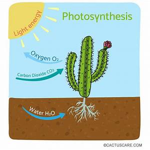 How Cacti Perform Photosynthesis  In A Different Way