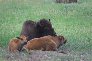 Oklahoma State Animal Buffalo