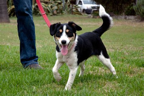border collie terrier mix shedding border border collie mix info puppies