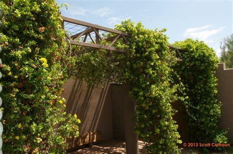 parthenocissus  hacienda creeper hacienda creeper vine