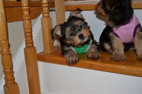 Non Shedding Small Dogs Ontario by Tiny Morkies For Sale Adoption From Mississauga