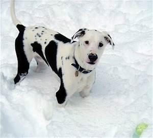 Labrador/Dalmation mix! | Puppies | Pinterest | Labradors ...