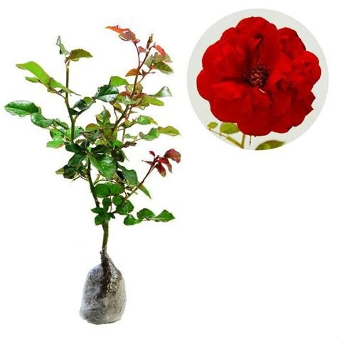 jual tanaman hidup bunga mawar merah lapak gardenshop