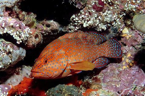 coral grouper fish photograph whatsthatfish