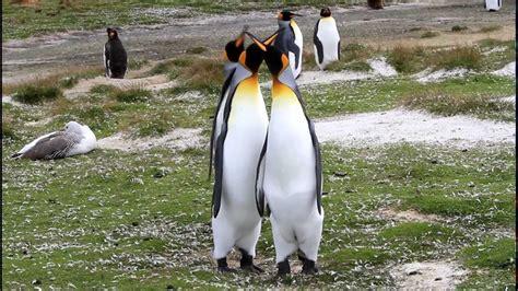 king penguin courtship behavior youtube