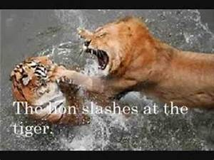 Siberian tiger vs African lion,the ultimate big cat fight ...