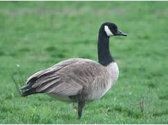 Canada Geese | Flyways.us
