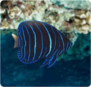 Majestic Angelfish- Juvenile, Blue Girdled Angelfish ...