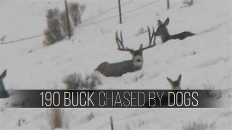 Dogs Chase Mule Deer  190 Buck Harassed By Dogs Youtube
