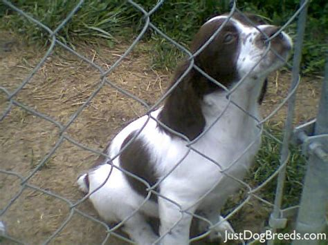 brittany liver white dta27a dog breeds picture
