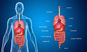 Royalty Free Human Digestive System Pictures, Images and ...
