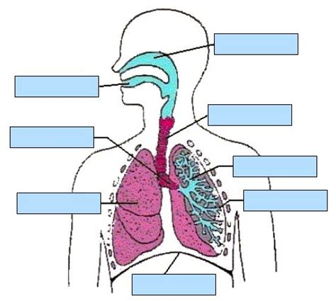 The Respiratory System An Interactive Activity  Respiratory System  Pinterest Respiratory