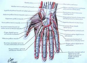Notes On Anatomy And Physiology  The Hand And The Tiger U0026 39 S
