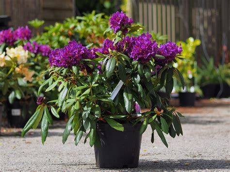 plantation rhododendron en pot 28 images rododindron rhododendron hybride kruschke p 233