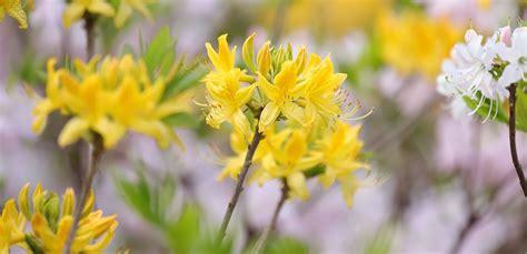 LU Botāniskajā dārzā krāšņi uzziedējusi rododendru kolekcija