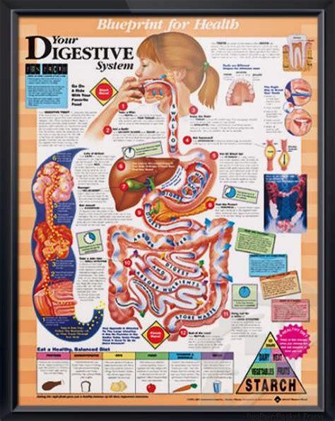 digestive system chart  digestive system