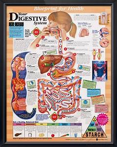 Your Digestive System Anatomy Poster
