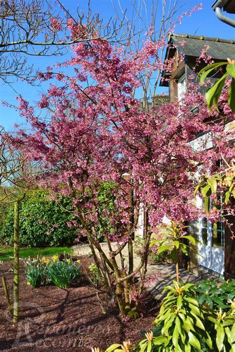 cerisier du japon en pot cerisier du japon okame p 233 pini 232 re lecomte