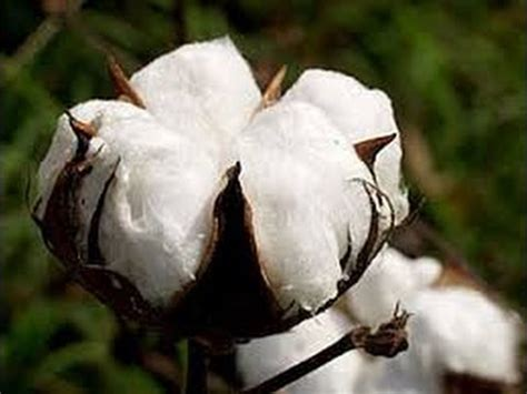 cotton planters how cotton goes from a plant to a fiber