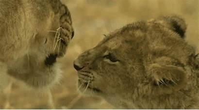 Lion Africa Animated Animal Gifs Animals Lions