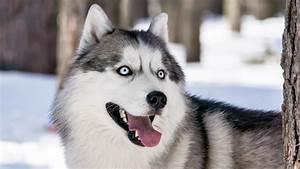 50+ Very Beautiful Siberian Husky Dog Photos And Pictures